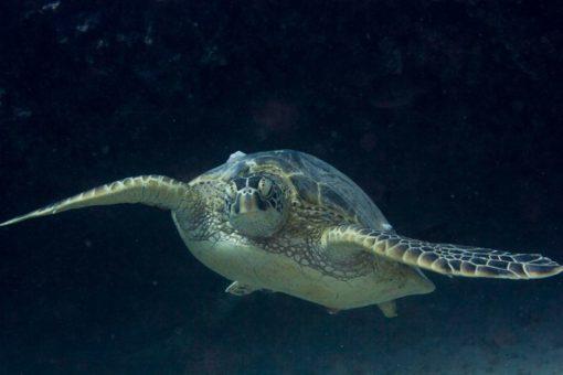 alohi kai honu turtle 2