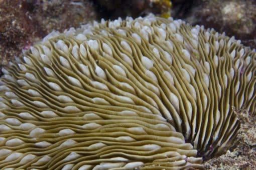 small mushroom coral