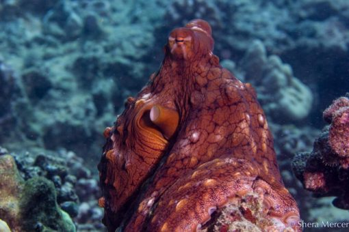 alohi kai octopus sitting
