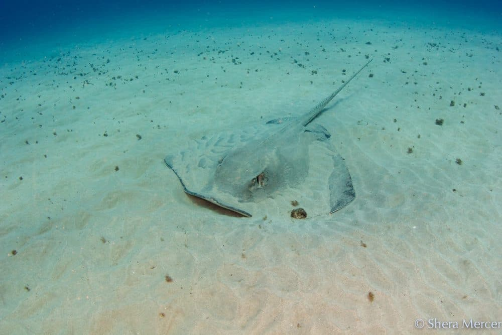 Stingray in the sand