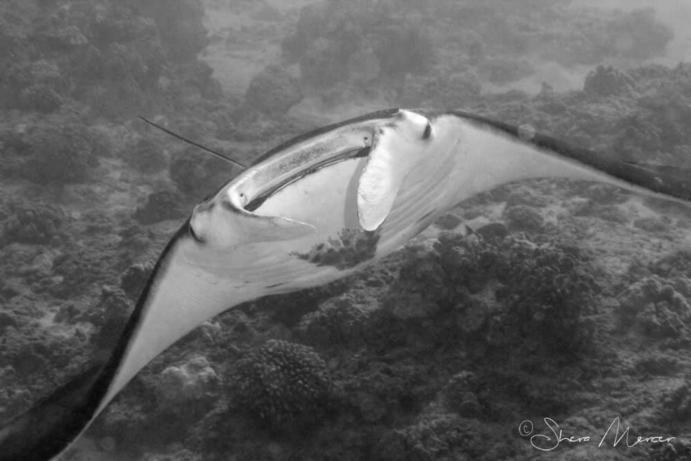 The Tale Of A Little Hawaiian Manta Ray