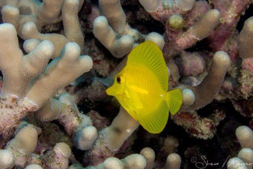 Baby yellow tang 1