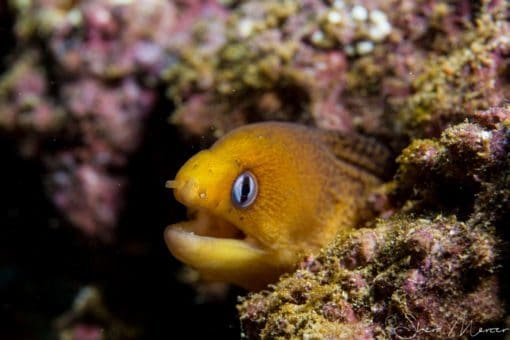 alohi kai dwarf moray close