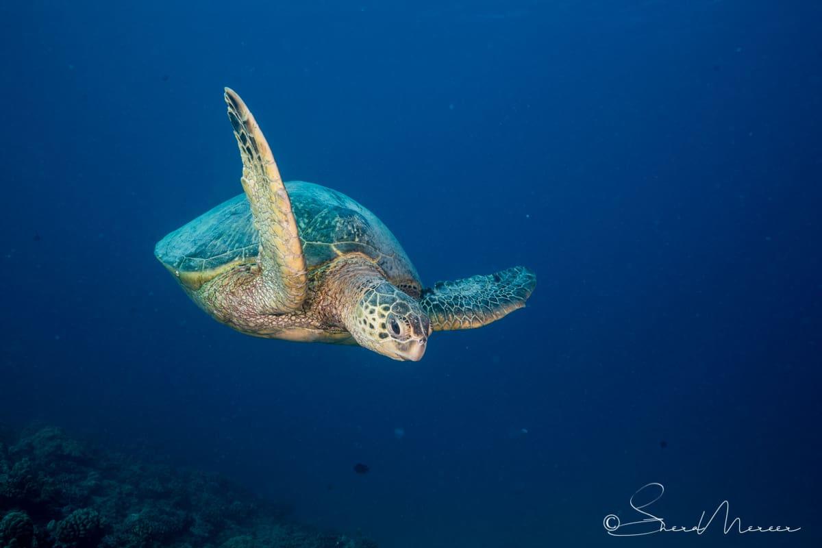 honu swimming to surface