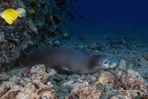monk seal underwater